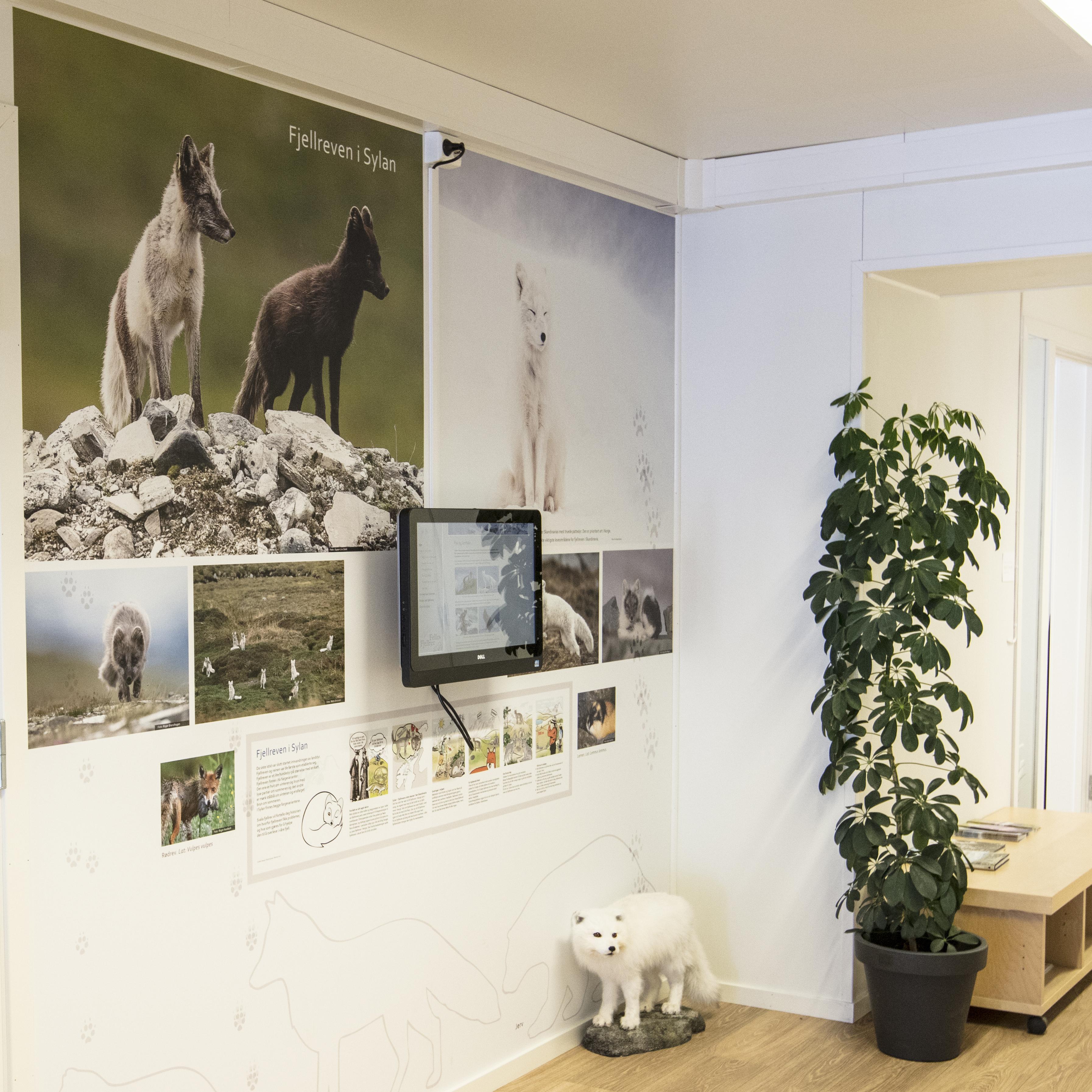 Bilder av fjellrev - utstilling